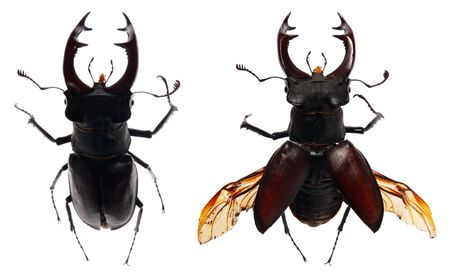 beetle deer on a white background, (Lucanus cervus L). (isolated) photo