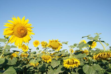 blooming sunflower field on the background of the sky photo