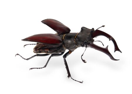 entomological: beetle deer on the white background, (Lucanus cervus L). (isolated) Stock Photo