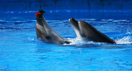 Two dolphins in the swimming pool. (Delphinidae) photo