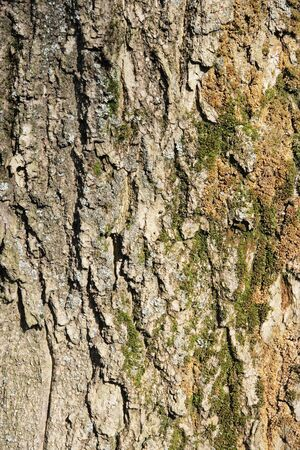 wrinkled rind: Texture larch bark, background (Larix)
