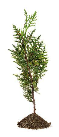 arborvitae: Green arborvitae branch on the white background. (Thuja)