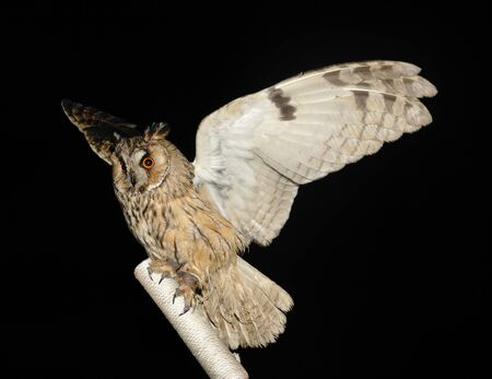 owl on a stick on the black background, (Strigiformes, Striges)