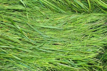 green grass, background photo