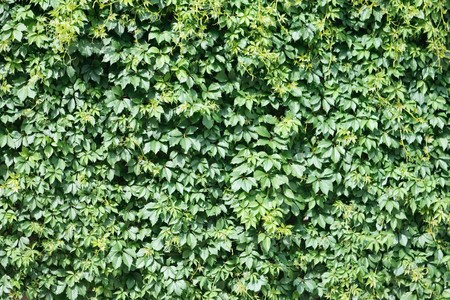 vegatation: texture, background Wild green grapes