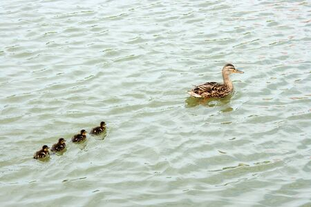 Wild duck with ducklings on the pond photo