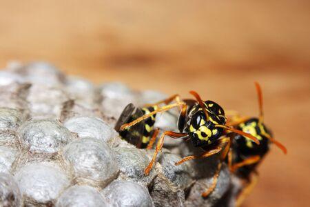 hymenoptera: vespiary on the wall, macro. (Hymenoptera) Stock Photo