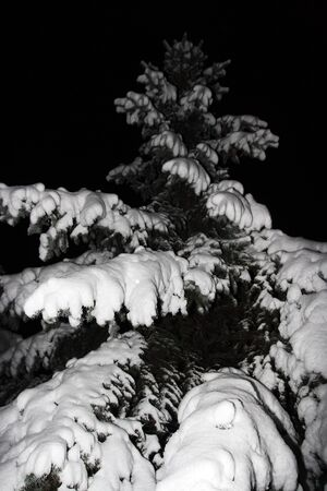 spruce in the snow, night photography Stock Photo - 7758533