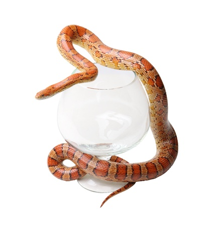 Corn snake in a glass on the white background (Elaphe guttata) Stock Photo