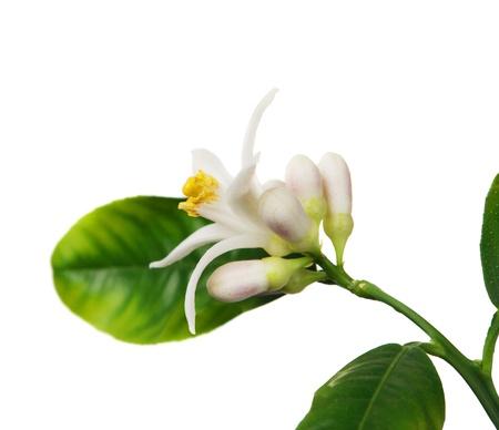 limon: Lemon flower on the white background (Citrus limon) Stock Photo