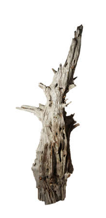 snag: Decomposed old snag tree on the white background
