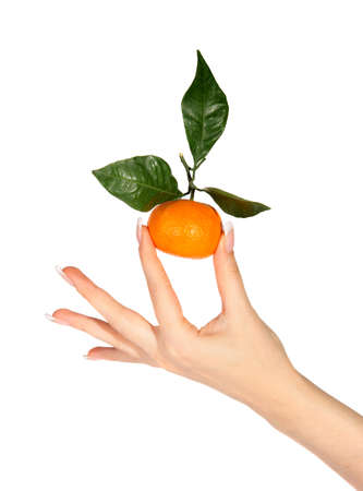 citrus reticulata: Mandarins with green leaves in the hands on the white background (Citrus reticulata) Stock Photo