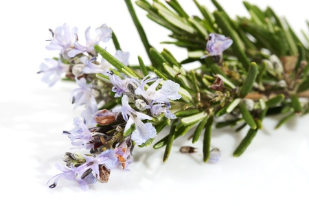 rosemary flower: branch of rosemary with flowers on the white background (Rosmarinus officinalis L.)