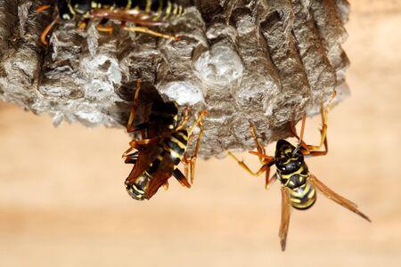 hymenoptera: vespiary on the wall. (Hymenoptera)