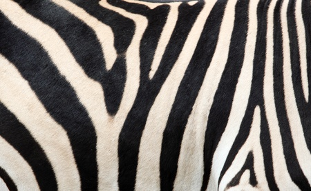 Zebra skin background, texture