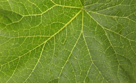 Texture of the green leaf fig (Ficus carica L.) photo