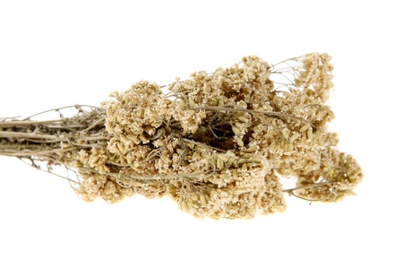 milfoil: Medicinal herbs, milfoil on the white background (Achillea)