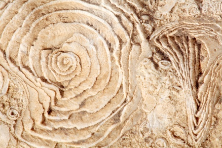 fossilized: texture of old fossilized sea shells on the rock