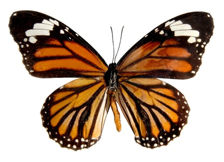 plexippus: Butterfly on the white background, (isolated) (Danais plexippus)