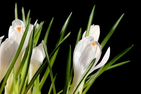 Growth of white crocuses on the black background (crocus jenne D photo