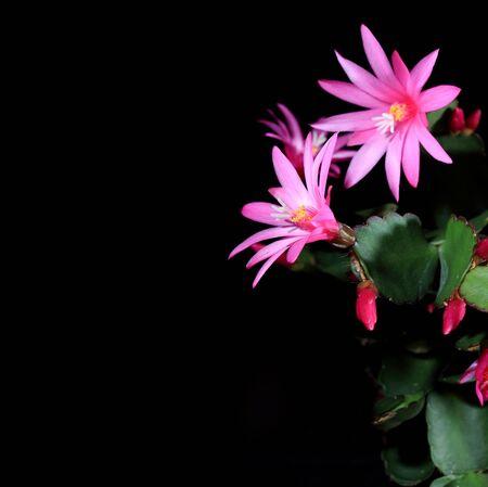 Epiphytic cactus bloom on the black background  Schlumbergera  photo