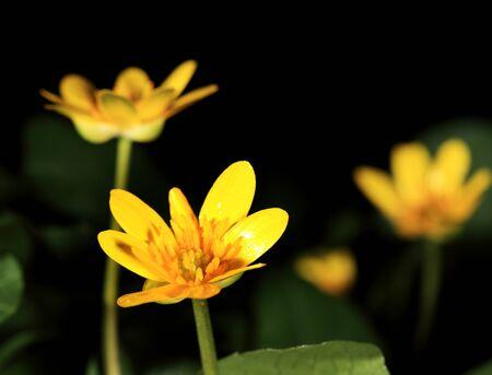 cowslip: Spring blooms of yellow flowers primroses  Ranunculus ficaria   Ficaria verna