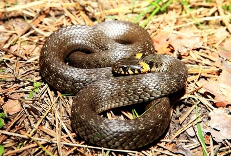 natrix: grass snake  Natrix , is a european non-venomous snake Stock Photo