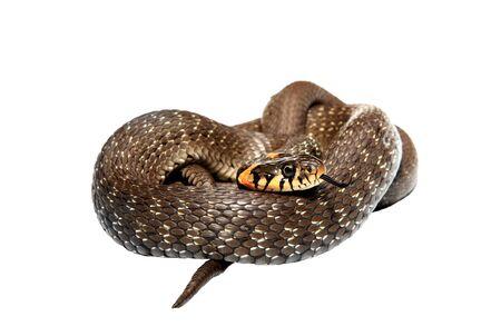 natrix: Snake isolated on white background  Natrix  Stock Photo