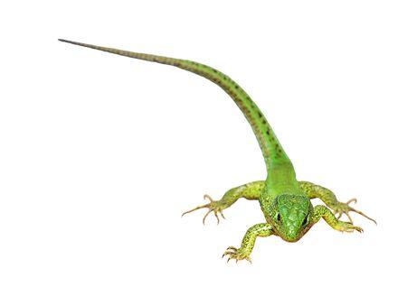 lacerta viridis: Green lizard on the white background  Lacerta viridis