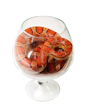 Corn snake in a glass on the white background  Elaphe guttata