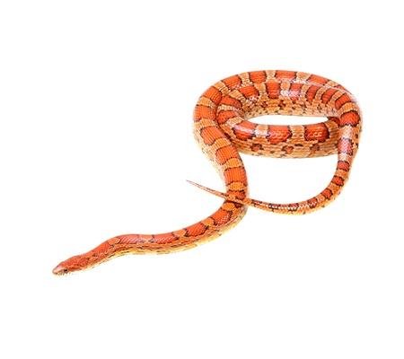 herpetology: Corn snake on the white background  Elaphe guttata