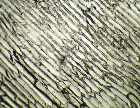 allium cepa: Onion under the microscope, background   Allium cepa