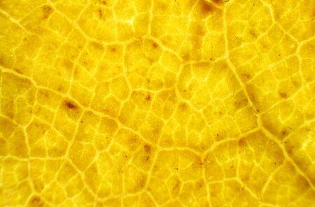 quercus: oak leaf under the microscope, background   Quercus  Stock Photo