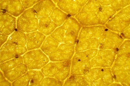 betula: Birch leaf under the microscope, background   Betula