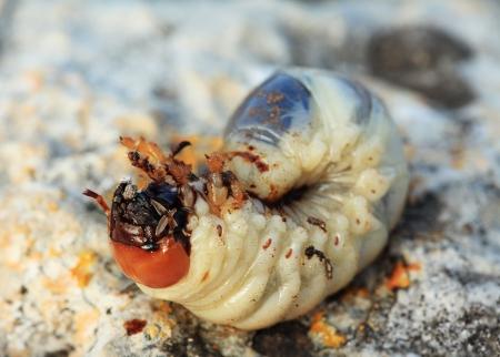 Larva of cockchafer  Melolontha Stock Photo - 17332795