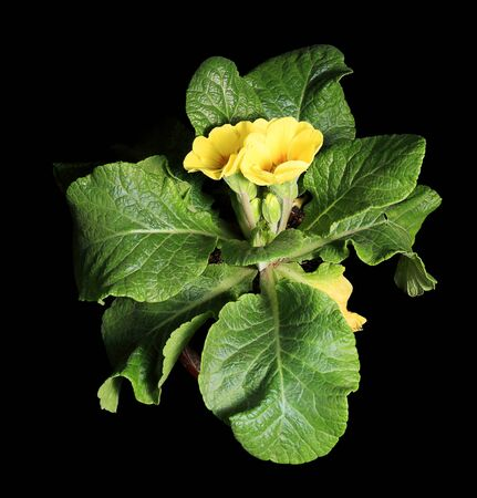 cowslip: Flowering yellow primula on the black background  Primula