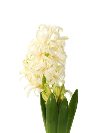 hyacinthus: jacinto botones florales en el fondo blanco Jacinto Foto de archivo