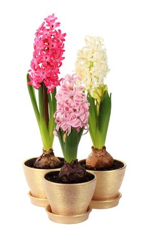 hyacinthus: hyacinth flower buds on the white background  Hyacinthus