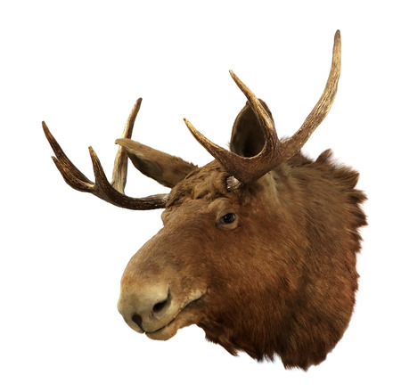 moose hunting: Moose head on a white background  Alces alces , isolated Stock Photo