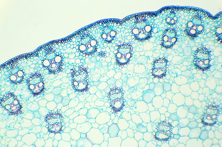 cs: Stalk of a cereal cross-section under the microscope (Corn Stem C.S.), 100x