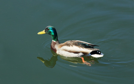 anas platyrhynchos: Wild duck floats on the river (Anas platyrhynchos).