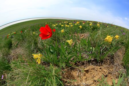 russia steppe: Blooming tulips and irises in the steppe on a hurricane, Rostov region, Russia.