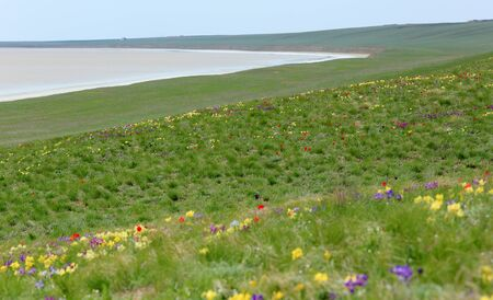 russia steppe: Blooming tulips and irises in the steppe near the salt lake Lopuhovatoe, Rostov region, Russia.