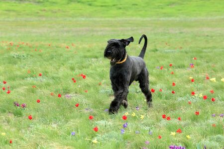 russia steppe: Big black dog runs on a blossoming tulip field in the steppe, Rostov region, Russia