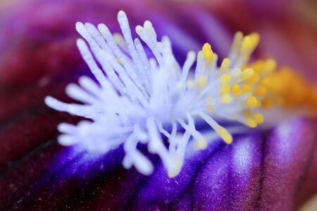 the stamens: Macro stamens of a flower. irises.