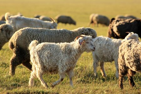 the federation: Sheep grazing in the steppes of Kalmykia, Republic of Kalmykia, Russian Federation Stock Photo