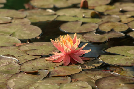 sioux: Orange flower water lilies on a pond (Nymphaea Sioux).