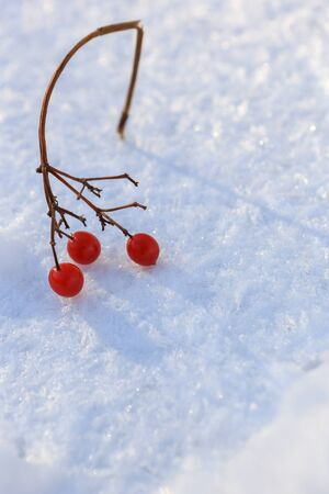 Sprig of red cranberries in the snow, background.