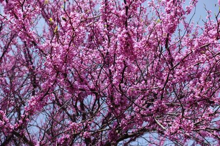 Branches of cercis canadensis in full bloom Stock Photo