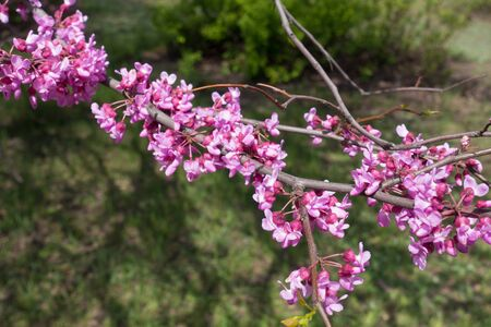 Close up of pink flowers of eastern redbud Stock Photo